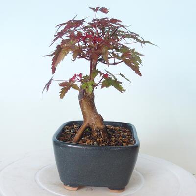 Outdoor-Bonsai - Ahorn palmatum DESHOJO - Ahorn palmate - 5