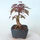 Outdoor-Bonsai - Ahorn palmatum DESHOJO - Ahorn palmate - 5/6