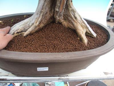 Zimmerbonsai - Muraya paniculata - 5
