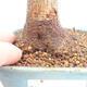 Bonsai im Freien - Buergerianum Maple - Burger Maple - 5/5