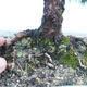 Innenbonsai - Buxus harlandii - Korkbuchsbaum - 5/7