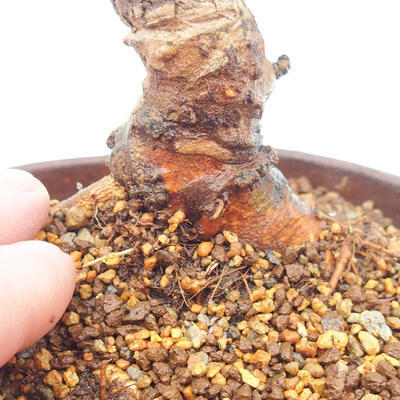 Bonsai im Freien - Zelkova - Zelkova NIRE - 5