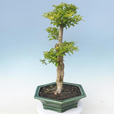 Indoor-Bonsai - Duranta erecta Aurea - 5