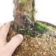 Bonsai im Freien - Juniperus chinensis - chinesischer Wacholder - 5/6