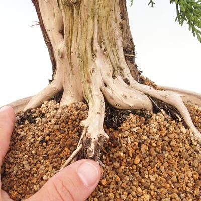 Bonsai im Freien - Juniperus chinensis - chinesischer Wacholder - 5