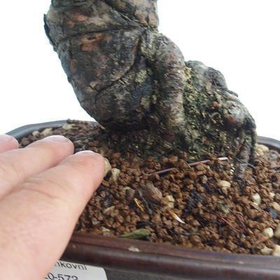 Pinus thunbergii - Thunberg Kiefer VB2020-572 - 5