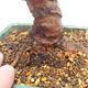 Bonsai im Freien - Zelkova - Zelkova NIRE - 5/5