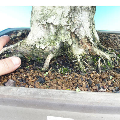 Outdoor-Bonsai -Carpinus CARPINOIDES - Koreanisch Hainbuche - 5
