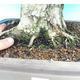 Outdoor-Bonsai -Carpinus CARPINOIDES - Koreanisch Hainbuche - 5/5