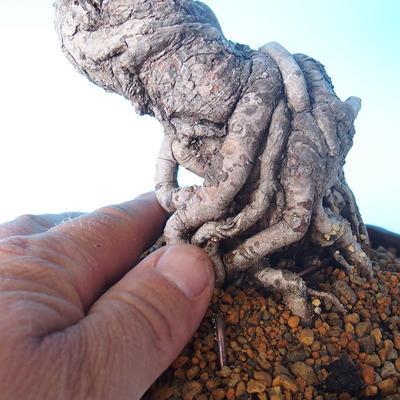 Pinus thunbergii - Thunbergkiefer - 5