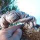 Pinus thunbergii - Thunbergkiefer - 5/5