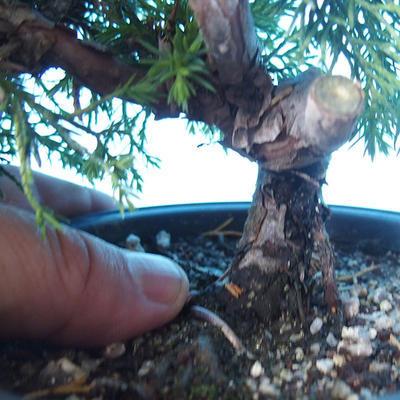 Outdoor Bonsai - Juniperus chinensis ITOIGAWA - Chinesischer Wacholder - 5