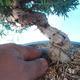 Outdoor Bonsai - Juniperus chinensis ITOIGAWA - Chinesischer Wacholder - 5/6