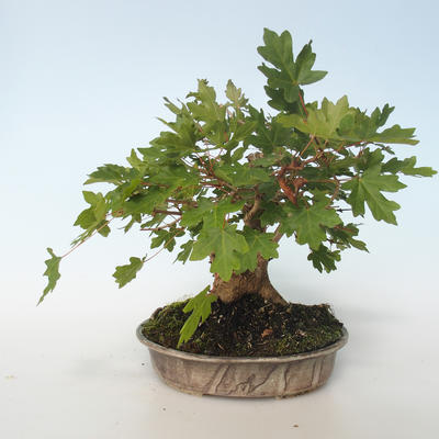 Outdoor Bonsai-Acer campestre-Ahorn Babyb 408-VB2019-26807 - 5
