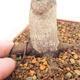 Bonsai im Freien - Maple palmatum DESHOJO - Japanischer Ahorn - 5/6