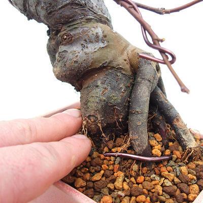 Bonsai im Freien - Pseudocydonia sinensis - Chinesische Quitte - 5