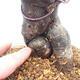 Bonsai im Freien - Pseudocydonia sinensis - Chinesische Quitte - 5/7