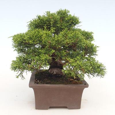 Bonsai im Freien - Juniperus chinensis Itoigawa-chinesischer Wacholder - 5