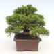 Bonsai im Freien - Juniperus chinensis Itoigawa-chinesischer Wacholder - 5/6