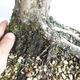 Bonsai im Freien - Juniperus chinensis - chinesischer Wacholder - 5/5