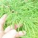 Bonsai im Freien - Pseudolarix amabilis - Pamodřín - 5/6