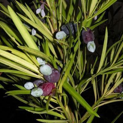 Indoor-Bonsai-Podocarpus-Stein tausend - 5