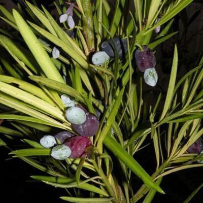 Indoor-Bonsai - Podocarpus - Stein tausend - 5