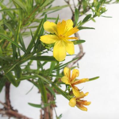 Bonsai im Freien - Johanniskraut - Hypericum - 6