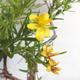 Bonsai im Freien - Johanniskraut - Hypericum - 6/6