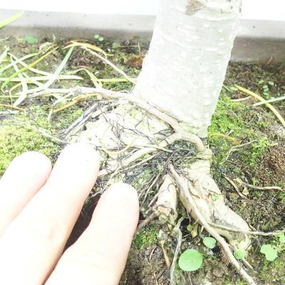 Bonsai im Freien - Pseudolarix amabilis - Pamodřín - 6