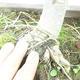 Bonsai im Freien - Pseudolarix amabilis - Pamodřín - 6/6