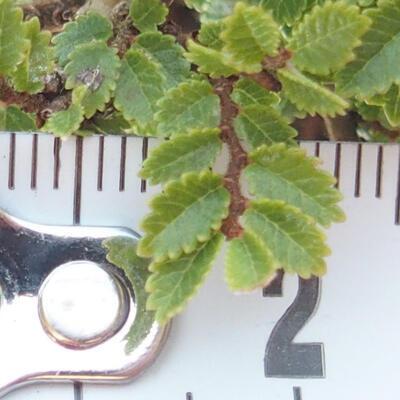 Outdoor-Bonsai - Ulmus parvifolia SAIGEN - Kleinblättrige Ulme - 6