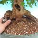 Bonsai im Freien - Ahorn Buergerianum - Burger Maple - 6/6