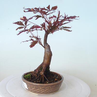 Outdoor-Bonsai - Acer-Palme. Atropurpureum-Rotes Palmblatt - 6