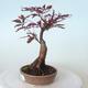 Outdoor-Bonsai - Acer-Palme. Atropurpureum-Rotes Palmblatt - 6/6
