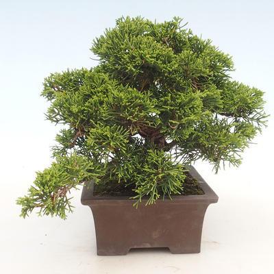 Bonsai im Freien - Juniperus chinensis Itoigawa-chinesischer Wacholder - 6
