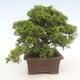 Bonsai im Freien - Juniperus chinensis Itoigawa-chinesischer Wacholder - 6/6