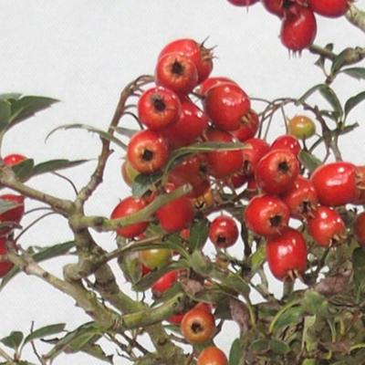 Bonsai im Freien - Weißblumen des Weißdorns - Crataegus laevigata - 6