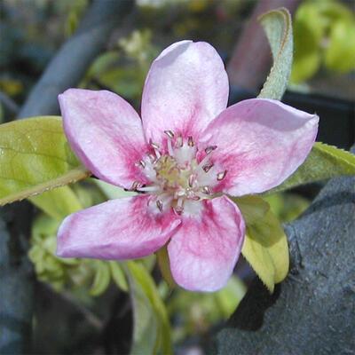 Bonsai im Freien - Pseudocydonia sinensis - Chinesische Quitte - 6