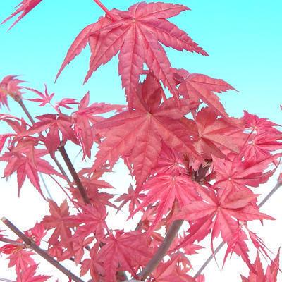 Bonsai im Freien - Maple palmatum DESHOJO - Japanischer Ahorn - 6