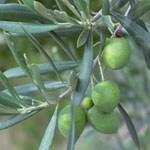 Indoor Bonsai - Olea europaea sylvestris -Oliva Europäisches kleines Blatt PB220486 - 6