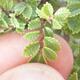 Outdoor-Bonsai - Ulmus parvifolia SAIGEN - Kleinblättrige Ulme - 7/7