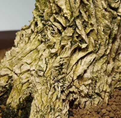 Innenbonsai - Buxus harlandii - Korkbuchsbaum - 7