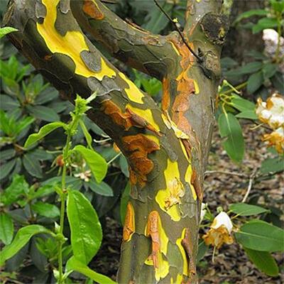 Bonsai im Freien - Pseudocydonia sinensis - Chinesische Quitte - 7