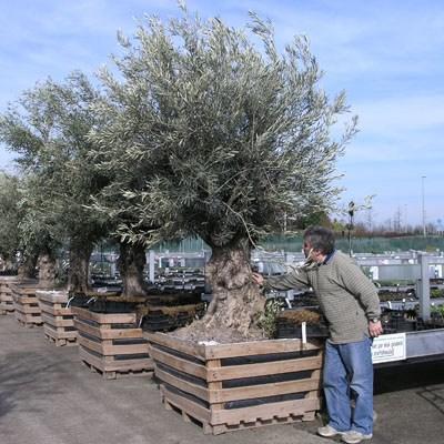 Innenbonsais - Olea europaea sylvestris - oliva europäisches kleines - 7