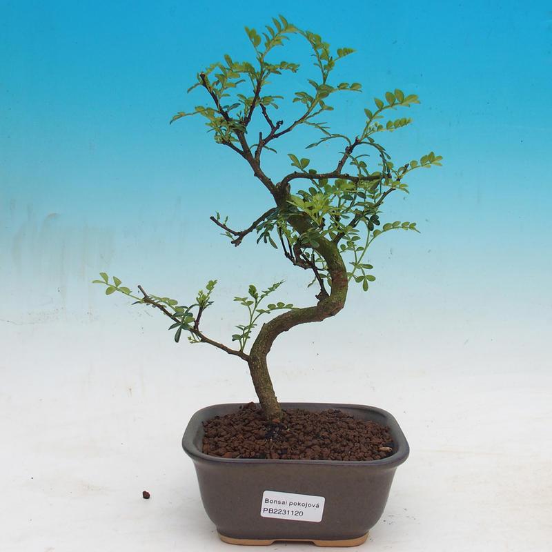 e bonsai zimmer bonsai zantoxylum piperitum pep ovn k. Black Bedroom Furniture Sets. Home Design Ideas