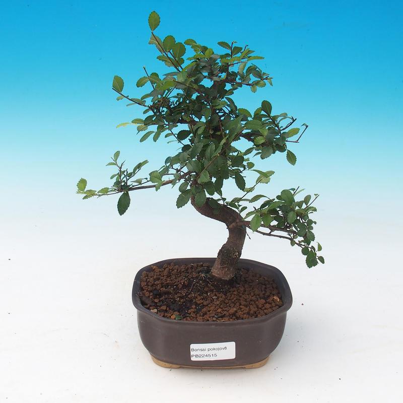 e bonsai zimmer bonsai chinesische ulme malolist ulme. Black Bedroom Furniture Sets. Home Design Ideas