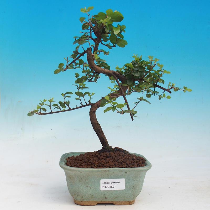 e bonsai zimmerbonsai sagetie thea sagetie thea. Black Bedroom Furniture Sets. Home Design Ideas
