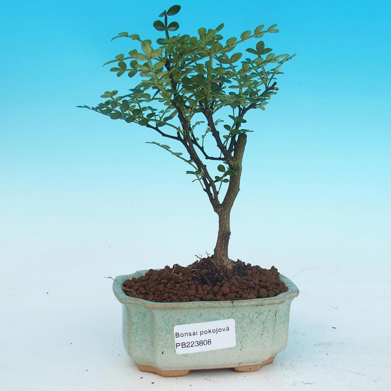 e bonsai zimmerbonsai zantoxylum piperitum pfeffer. Black Bedroom Furniture Sets. Home Design Ideas