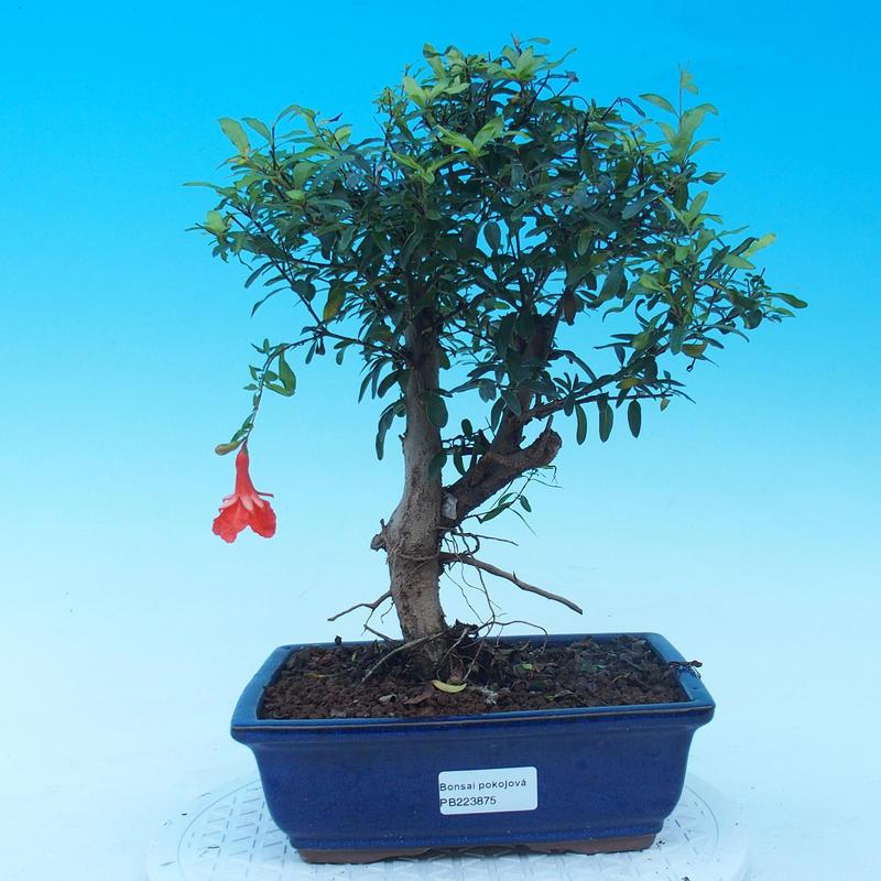 e bonsai zimmer bonsai punica granatum nana granatapfel. Black Bedroom Furniture Sets. Home Design Ideas